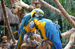 Macaw parrot birds Royalty Free Stock Images