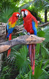 Macaw parrot birds Royalty Free Stock Photos