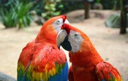 Macaw parrot birds Stock Image