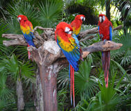 Macaw parrot birds Stock Image