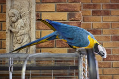 Macaw parrot on a branch with a brick wall background. Macaw parrot in the office. Ara parrot. Macaw parrot on a branch with a brick wall background. Macaw Stock Photography