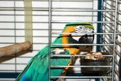 Macaw parrot in a cage. Ara parrot. royalty free stock photos