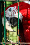 Macaw parrot in a cage Royalty Free Stock Photos
