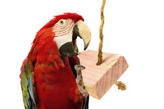 Macaw Parrot Chewing On Toy. Picture of a Macaw parrot playing with chew toy royalty free stock photos