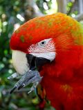 Macaw parrot: cleaning beak Stock Images