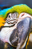 Macaw Parrot. Close shot of eye Stock Photo