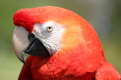 Macaw Parrot. Colourful Parrot on a branch Royalty Free Stock Image