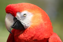 Macaw Parrot. Coulorful Parrot on a branch Stock Images