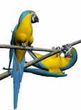 Macaw, parrot couple over white. Colorful macaw,parrot couple 3D render, illustration over white. High resolution, detailed image Stock Photo