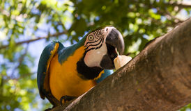Macaw parrot eating. Beautiful macaw parrot feeding perched on branch Royalty Free Stock Image