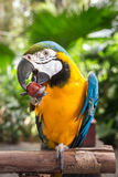 Macaw parrot eating grape Royalty Free Stock Photo