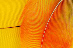 Macaw parrot feathers. Blue and gold Macaw parrot feathers macro Royalty Free Stock Images
