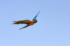 Macaw parrot in flight Stock Images