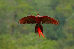 Macaw parrot flying in dark green vegetation with beautiful back light and rain. Scarlet Macaw, Ara macao, in tropical forest,. Costa Rica. Wildlife scene from royalty free stock photo