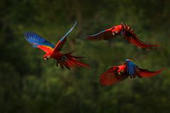 Macaw parrot flying in dark green vegetation with beautiful back light and rain. Scarlet Macaw, Ara macao, in tropical forest,. Costa Rica. Wildlife scene from royalty free stock photography