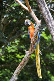 Macaw parrot in the forest Royalty Free Stock Image