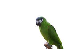 Macaw or parrot with green feathers isolated Stock Image