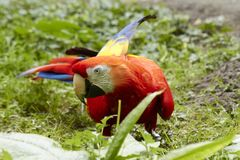 Macaw parrot on the ground stock photo