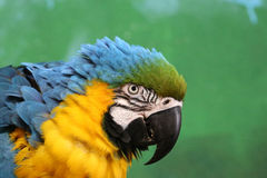 Macaw Parrot Head. Head of a blue-and-yellow Macaw Parrot ara ararauna against a blurred green background stock image