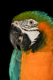 Macaw parrot head shot Royalty Free Stock Image
