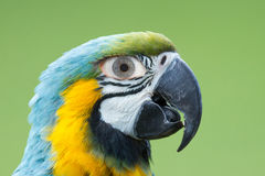 Macaw parrot with a human eye Royalty Free Stock Images