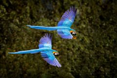 Free Macaw Parrot In Flight. Big Blue Ara Ararauna In The Dark Green Forest Habitat In Pantanal, Brazil. Action Wildlife Scene From Royalty Free Stock Images - 164327889