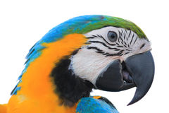 Macaw Parrot isolated on white background Stock Image