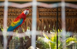 Macaw parrot isolated in a zoo cage royalty free stock image
