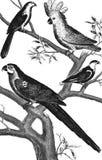 Macaw parrot. Kakaloes. Parakeet. Lory Stock Photography