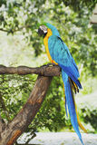 Macaw parrot in nature Stock Images