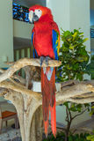 Macaw Parrot on one branch. Mexico Stock Photos