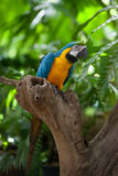 Macaw parrot outdoor on tree branch Royalty Free Stock Photo