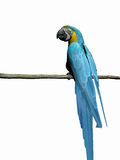 Macaw, parrot over white. Stock Images
