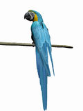 Macaw, parrot over white. Royalty Free Stock Image
