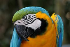 Macaw Parrot Portrait Royalty Free Stock Photos