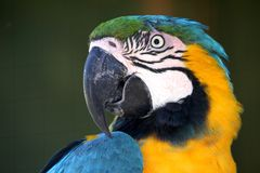 Macaw Parrot Portrait Royalty Free Stock Images