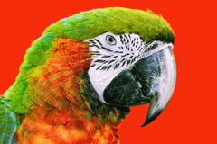 The Macaw Parrot Stock Photography