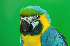 The Macaw Parrot. Portrait of the Macaw Parrot over the Yellow Background Royalty Free Stock Photos