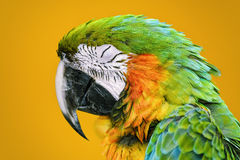The Macaw Parrot Royalty Free Stock Image