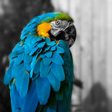 Macaw parrot portrait square composition eye contact close up shot.  Stock Photography