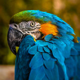 Macaw parrot portrait square composition eye contact close up shot.  Royalty Free Stock Photo