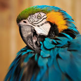 Macaw parrot portrait square composition eye contact close up shot.  Stock Images