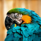 Macaw parrot portrait square composition eye contact close up shot.  Stock Photo