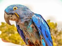 Macaw Parrot Potrait in Arizona. A potrait of A Macaw Parrot owner petting their bird in the Grand Canyon royalty free stock photos