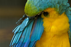 Macaw parrot preening Stock Photo