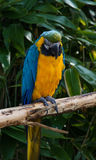 Macaw Parrot, Psittacidae Orthopsittaca, perched on a branch. Royalty Free Stock Photography