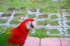 Macaw parrot, red - green colorful beautiful in public park select focus with shallow depth of field.  royalty free stock photography