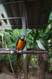 Macaw parrot sitting on a branch, a powerful beak,feathers Royalty Free Stock Photo
