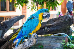 Macaw parrot on a tree branch. Funny big blue macaw parrot on a tree branch Royalty Free Stock Images