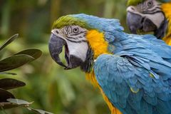 Macaw, Parrot, Tropical, Bird Royalty Free Stock Photography